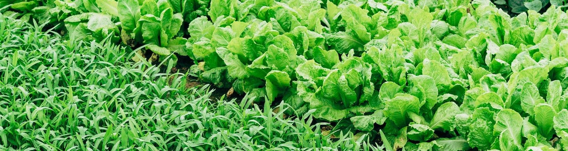 Lokaal gekweekte groenten van korte keten