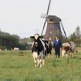 Koe op het veld staat voor een windmolen